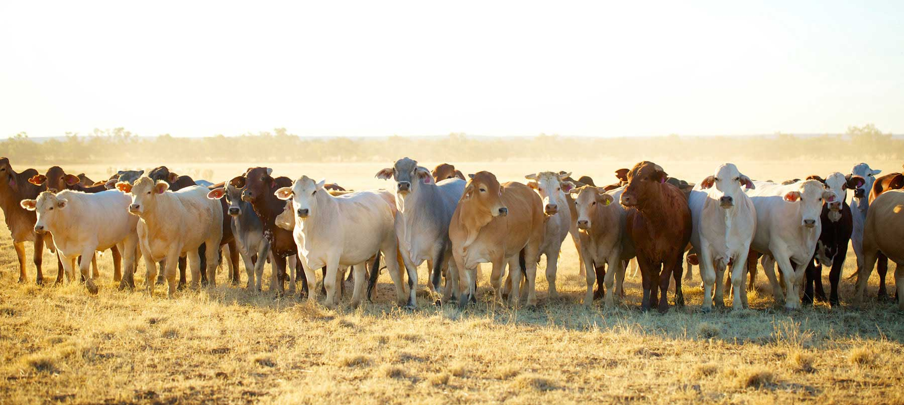 Coopers Beef Cattle Range